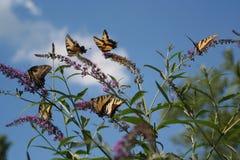 Le troupeau des papillons de Tiger Swallowtail alimentent un après-midi d'été Photos stock