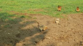 Le troupeau des poules, un Araucan, d'autres races New Hampshire et d'autres, multipliant en conditions naturelles ?tendues, des  clips vidéos