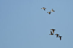 Le troupeau du Bufflehead penche le vol dans un ciel bleu Photo stock