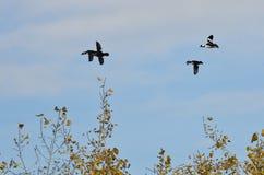 Le troupeau du Bufflehead penche voler bas au-dessus des arbres Photo libre de droits