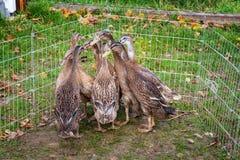 Le troupeau du jeune coureur indien se penche dans le stylo extérieur de canard image libre de droits