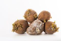 Le tubercule endommagé de pomme de terre avec le champignon et les moules sur leur surface ont causé en raison du stockage inadéq images stock