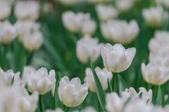 Le Tulipa s'épanouira mieux dans la température moyenne 18-20 degrés de Celsius Photos libres de droits