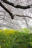 Le tunnel de fleurs de cerisier et les champs du nanohana fleurissant jaune chez Kumagaya Arakawa Ryokuchi se garent dans Kumagay Photographie stock