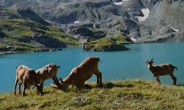 Le tur caucasien occidental Image stock