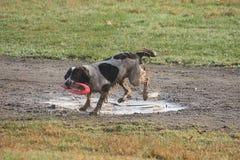 Le type fonctionnant épagneul de springer anglais choient le chien de chasse avec le frisbee dedans Photographie stock libre de droits
