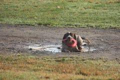 Le type fonctionnant épagneul de springer anglais choient le chien de chasse avec le frisbee dedans Image libre de droits
