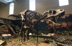 Le tyrannosaure tout premier Rex a découvert dans le monde image libre de droits