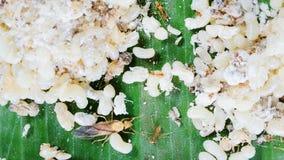 Le uova delle formiche sotteranee sono piatti popolari della gente rurale e sono alimenti stagionali fotografia stock libera da diritti