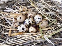 Le uova di quaglia nel ` s della quaglia annidano Fotografia Stock