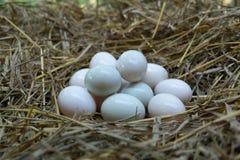 Le uova hanno messo nella paglia, uovo bianco dell'anatra immagine stock