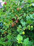Le uva spina maturano Fotografie Stock