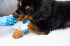 Le vétérinaire bande la blessure sur la patte de chiens Les chiens de traitement ont le vétérinaire images stock