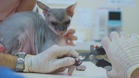 Le vétérinaire coupant les griffes du chat chauve de sphinx dans la clinique vétérinaire, plan rapproché banque de vidéos