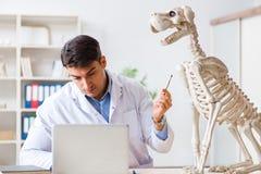 Le vétérinaire de docteur pratiquant sur le squelette de chien photo libre de droits