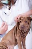 Le vétérinaire donne le vaccin au chiot Shar-Pei Images libres de droits