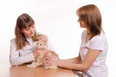 Le vétérinaire examine des oreilles de chat Photo stock