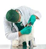 Le vétérinaire examine les dents de chien images stock