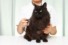 Le vétérinaire examine un chat photographie stock