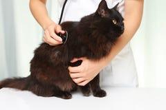 Le vétérinaire examine un chat Image stock