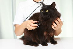 Le vétérinaire examine un chat Photo libre de droits