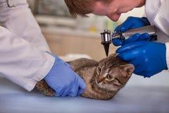 Le vétérinaire examinent des oreilles de chat dans la clinique d'animal familier, dépistage précoce et Images stock