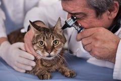 Le vétérinaire examinent des oreilles de chat dans la clinique d'animal familier, dépistage précoce et Photographie stock