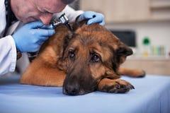 Le vétérinaire examinent des oreilles de chien dans la clinique d'animal familier, dépistage précoce et Photographie stock