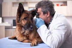 Le vétérinaire examinent des oreilles de chien dans la clinique d'animal familier, dépistage précoce et Images stock