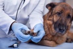 Le vétérinaire examinent le chien en clinique, dépistage précoce et festin d'animal familier Photos libres de droits