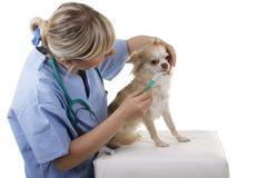 Le vétérinaire féminin donne la médecine à un chien de recouvrement Photographie stock libre de droits