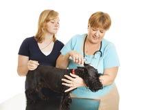 Le vétérinaire féminin soigne le patient Images stock