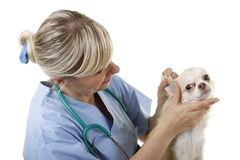 Le vétérinaire féminin vérifie les oreilles d'un chien Image stock