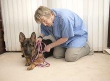 Le vétérinaire surveillant un Alsacien poursuit le battement de coeur Photo stock