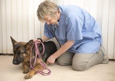 Le vétérinaire surveillant un Alsacien poursuit le battement de coeur Photographie stock libre de droits