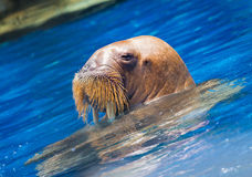 Le valrus de natation Photos stock