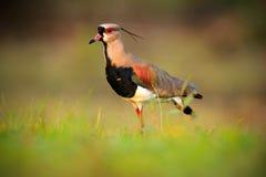 Le vanneau du sud, chilensis de Vanellus, arrosent l'oiseau exotique pendant le lever de soleil, dans l'habitat de nature, Pantan Photographie stock libre de droits