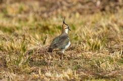 Le vanneau, vanellus de Vanellus, vanneau du nord chronomètrent au printemps photos stock