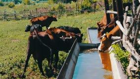Le varie grandi e piccole mucche bevono l'acqua dalla depressione enorme del ferro riempita di acqua Sete per il bestiame Mucche  stock footage