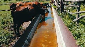 Le varie grandi e piccole mucche bevono l'acqua dalla depressione enorme del ferro riempita di acqua Sete per il bestiame Mucche  video d archivio