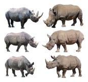 Le varie posizioni del rinoceronte nero e del rinoceronte bianco su fondo bianco fotografie stock libere da diritti