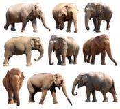 Le varie posizioni dell'elefante asiatico su fondo bianco, serie eccellente fotografie stock libere da diritti