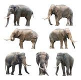 Le varie posizioni dell'elefante maschio dei denti lunghi asiatici su fondo bianco, serie eccellente fotografia stock