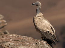 Le vautour de cap était perché sur le bord d'une roche de vue de côté Image libre de droits