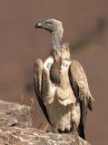 Le vautour de cap en verticale était perché sur une roche Photo stock