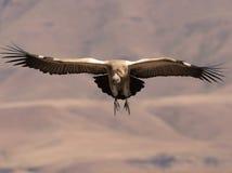 Le vautour de cap entrant pour atterrir avec des ailes entièrement a étendu et des pieds vers l'avant Photographie stock libre de droits