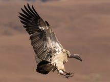 Le vautour de cap entrant pour atterrir avec des ailes entièrement a étendu et des pieds vers l'avant photo libre de droits