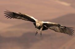 Le vautour de cap entrant pour atterrir avec des ailes entièrement a étendu et des pieds vers l'avant Photo stock