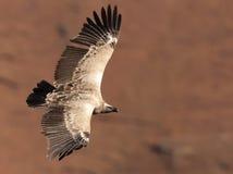 Le vautour de cap glissant près avec des ailes a entièrement étendu Image libre de droits