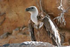Le vautour de griffon Photos libres de droits